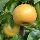 ■【秋の美味】和歌山の樹上成熟梨約4kg