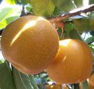 【先行予約】有田の樹上成熟梨 特撰 豊水梨 約4.5kg