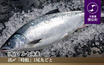 【活〆】「時鮭」1尾丸ごと【2020年5月より発送】