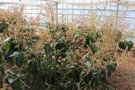 ★沖縄県糸満産 キーツマンゴー約1.5kg