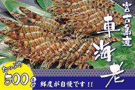 宮古島産活車海老 500g(オガクズ入)