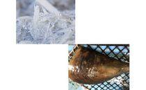 篠島産 生しらすと貝のお刺身セット