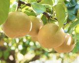 <予約受付中>【大洲肱川産】旬の梨 約3kg(6~8玉)