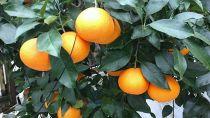 峯田農園の宝石柑橘「まどんな」