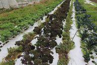 西原町西洋野菜研究会のオススメ西洋野菜セット