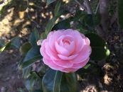 ☆椿名花「淡乙女」5号鉢開花見込み苗