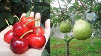 シーズン最高品質の果実をお選びしてフルーツ定期便でお届け致します。品種を変えて年4回(さくらんぼ2回・西洋梨2回