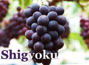 【期間限定】紫玉「巨峰」約3kg