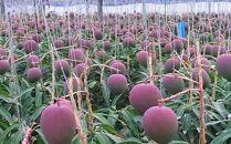 【令和2年沖縄県農林水産部長賞受賞】サンフルーツ糸満のマンゴー約1kg