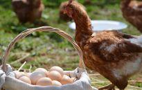 1個300円の高級卵「箱庭たまご茜」で作った紅白プリン!10個