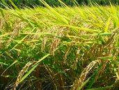【令和2年度新米先行予約】合鴨農法米幻の米 農林48号