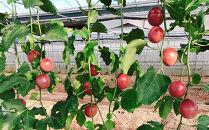 沖縄情熱農園【赫珠パッションフルーツ】 1kg