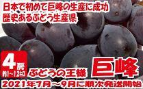 九州・福岡フルーツ王国八女から直送!巨峰[ぶどう]4房(約1.2kg)
