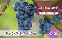 フルーツ王国余市産「キャンベルス」2kg【ニトリ観光果樹園】