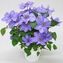 品種おまかせブルー系クレマチス5寸※4月より順次出荷