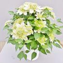 クレマチス「花園」5寸※母の日ギフト向け5月出荷