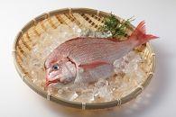 大洗漁師厳選!大洗産「天然活き〆真鯛」2㎏(1匹)