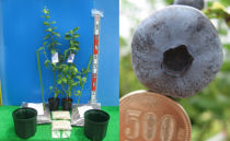 ノーザンハイブッシュ系接ぎ木ブルーベリー苗2本+簡単鉢植栽培キット×2