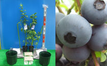 サザンハイブッシュ系接ぎ木ブルーベリー苗2本+簡単鉢植栽培キット×2