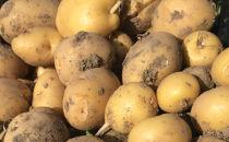 たまな農園の無農薬無化学肥料のじゃがいも(キタアカリ)5kg