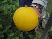 日本一ゴールド(メロン)2kg 「生育時期に農薬を極力使わずに育てました!」