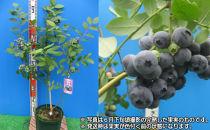 実付き鉢植えブルーベリー接ぎ木苗7号鉢