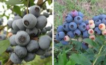 実付き鉢植えブルーベリー【ラビットアイ系2品種2本寄せ植え】7号鉢
