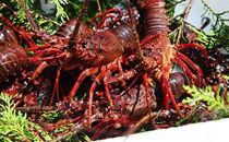 「赤い宝石」豊後水道の天然伊勢えび1㎏うに醤油&ウニドレソース