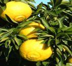 奇跡の柑橘「はるか」