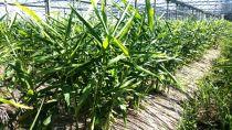 【限定】有機無農薬栽培生姜(2kg)