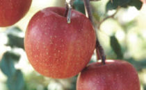 りんごの里・秋田県雄和地区で育ったりんご ふじ5kg