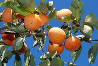 柿の定番 富有柿10kg