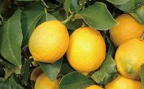 エコレモン5Kg-防腐剤・防カビ剤不使用で皮まで安心 広島県特別栽培農産物認証