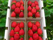 【早期受付開始】苺好きな農家が作った、甘くて濃厚なさちのか