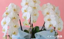 胡蝶蘭(3本立ち33輪以上)