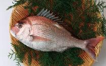 高知産 活〆 養殖 真鯛 1.0kg~1.5kg