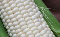 【平成31年度】「高原の真珠」と呼ばれるトミーファーム産ホワイトコーン最新品種「雪の妖精」10本
