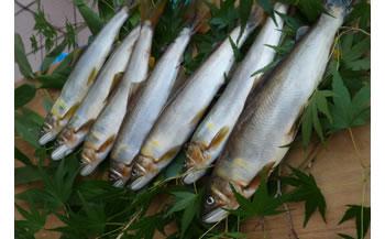 日置川の清流で育った天然鮎