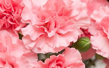 【期間限定】カーネーション5号 1鉢 ピンク系