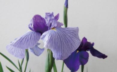 花菖蒲の苗 おすすめ5ポットセット