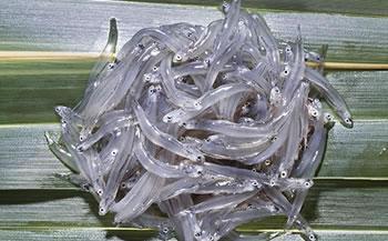 【数量限定】静浦漁協凍結生しらす
