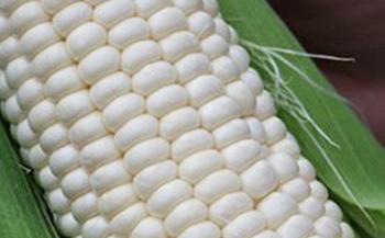 【平成30年度】「高原の真珠」と呼ばれるトミーファーム産ホワイトコーン最新品種「雪の妖精」10本