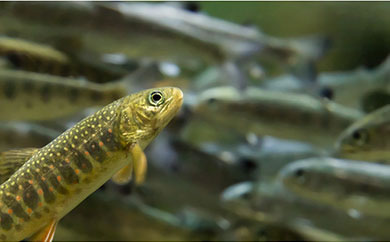 オショロコマ(イワナ)活魚塩焼き用